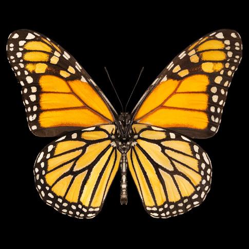 final reallyredone monarch42240x40final
