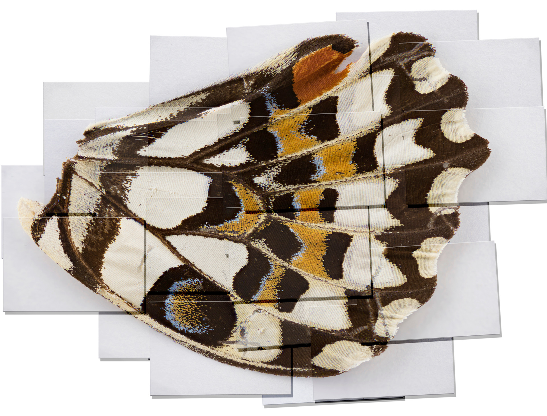 1f layered dingy swallowtail redue light