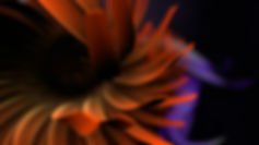 Opening titles sequence, intro animation, flower orange, close up, depth of field, cinematic, Angela Gigica