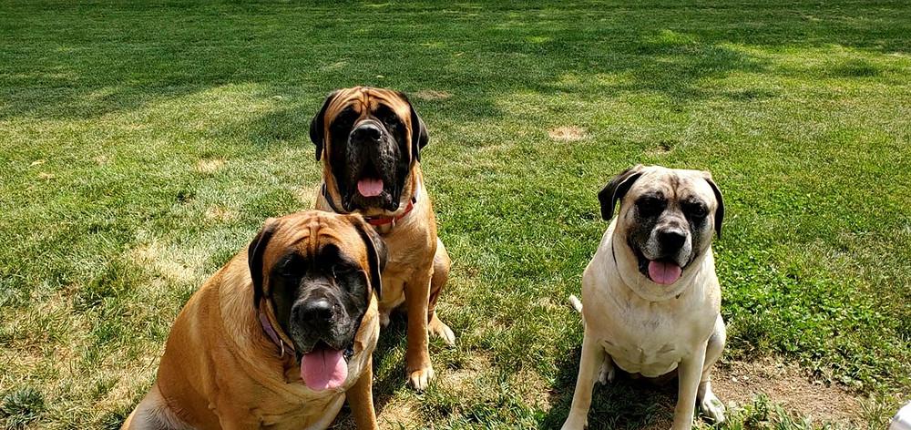 Three English mastiffs on grass