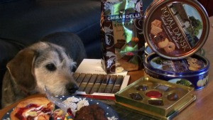 Dog trying to get chocolate from table