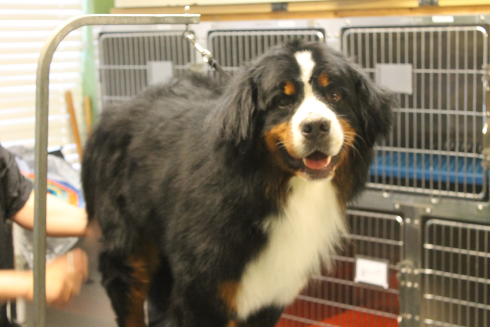 Bernese Mountain dog on grooming table, Stewie