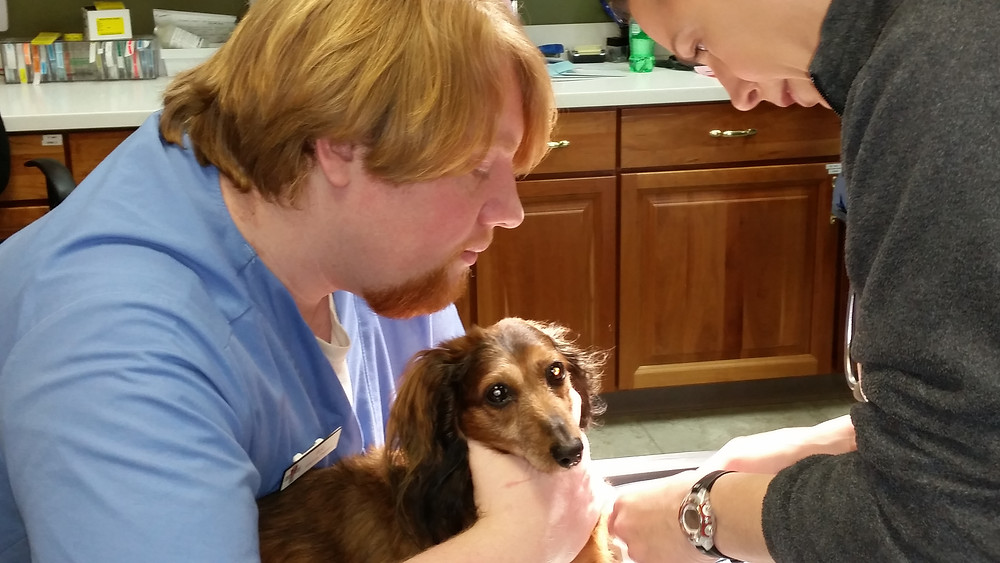 Dachshund having blood drawn by veterinarian, restrained by veterinary assistant