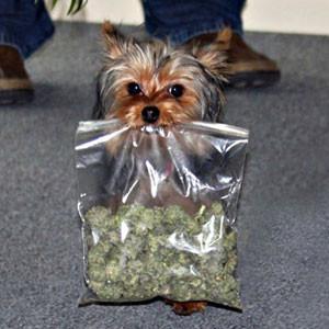 Yorkie carrying ziploc baggie of marijuana