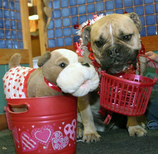 Bullldog holding red basket next to stuffed toy dog