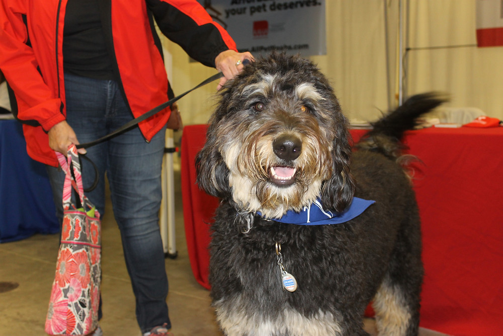Black labradoodle at pet adoption event