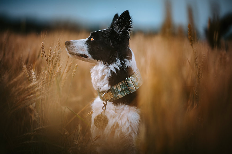 Black and white collie wearing a green leaf print collar sits in a wheat field looking to the left