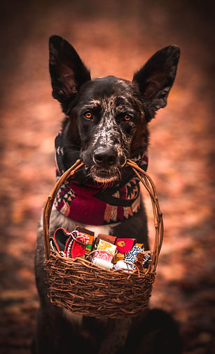 German shepherd type dog looks at camera while wearing a red scarf and holding a basket in his mouth