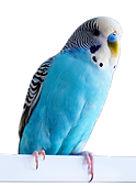 blue budgie_edited.png
