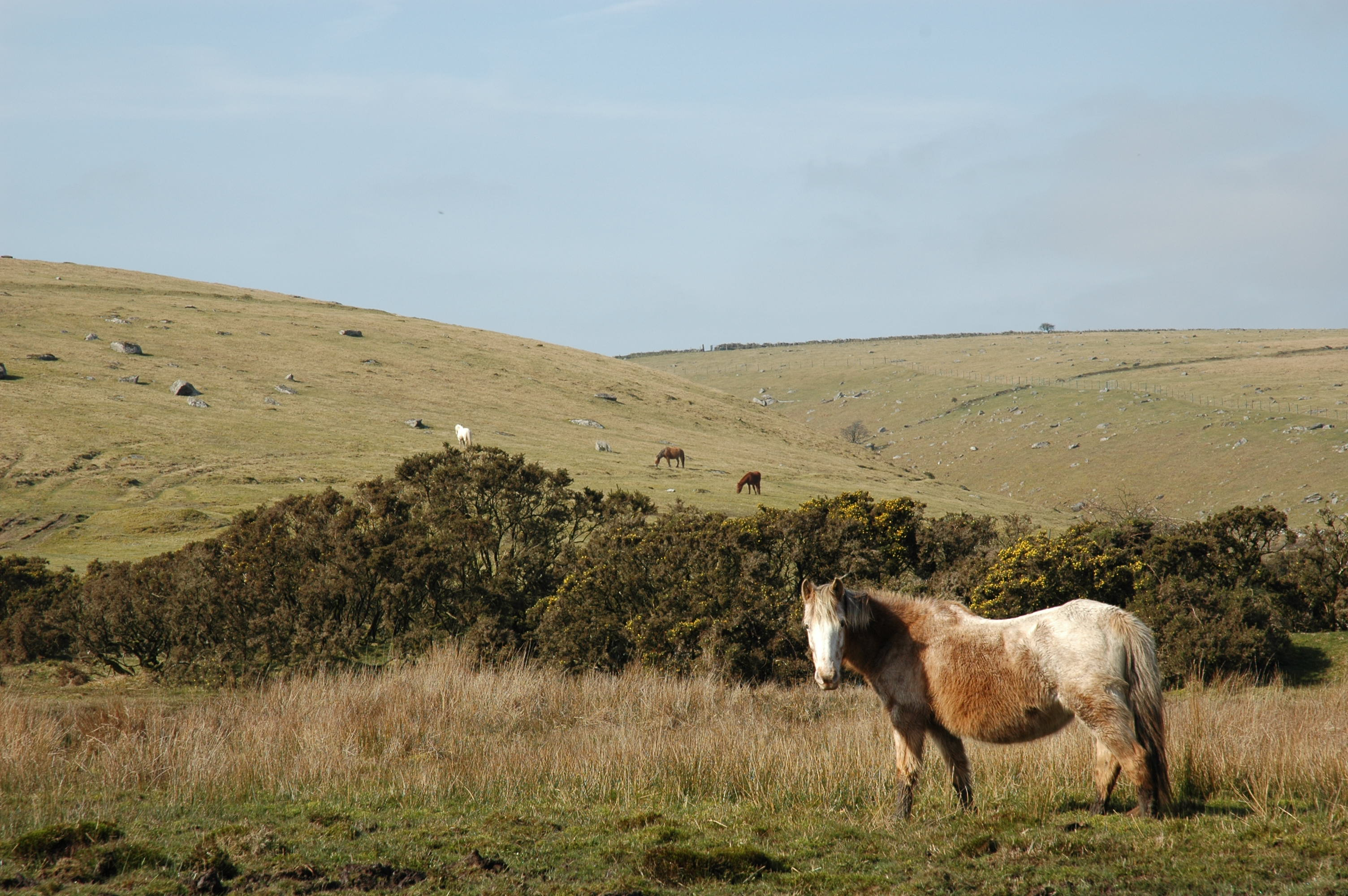 Pony on Bodmin Moor