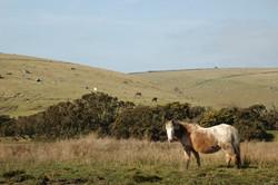 Pony on Bodmin Moor