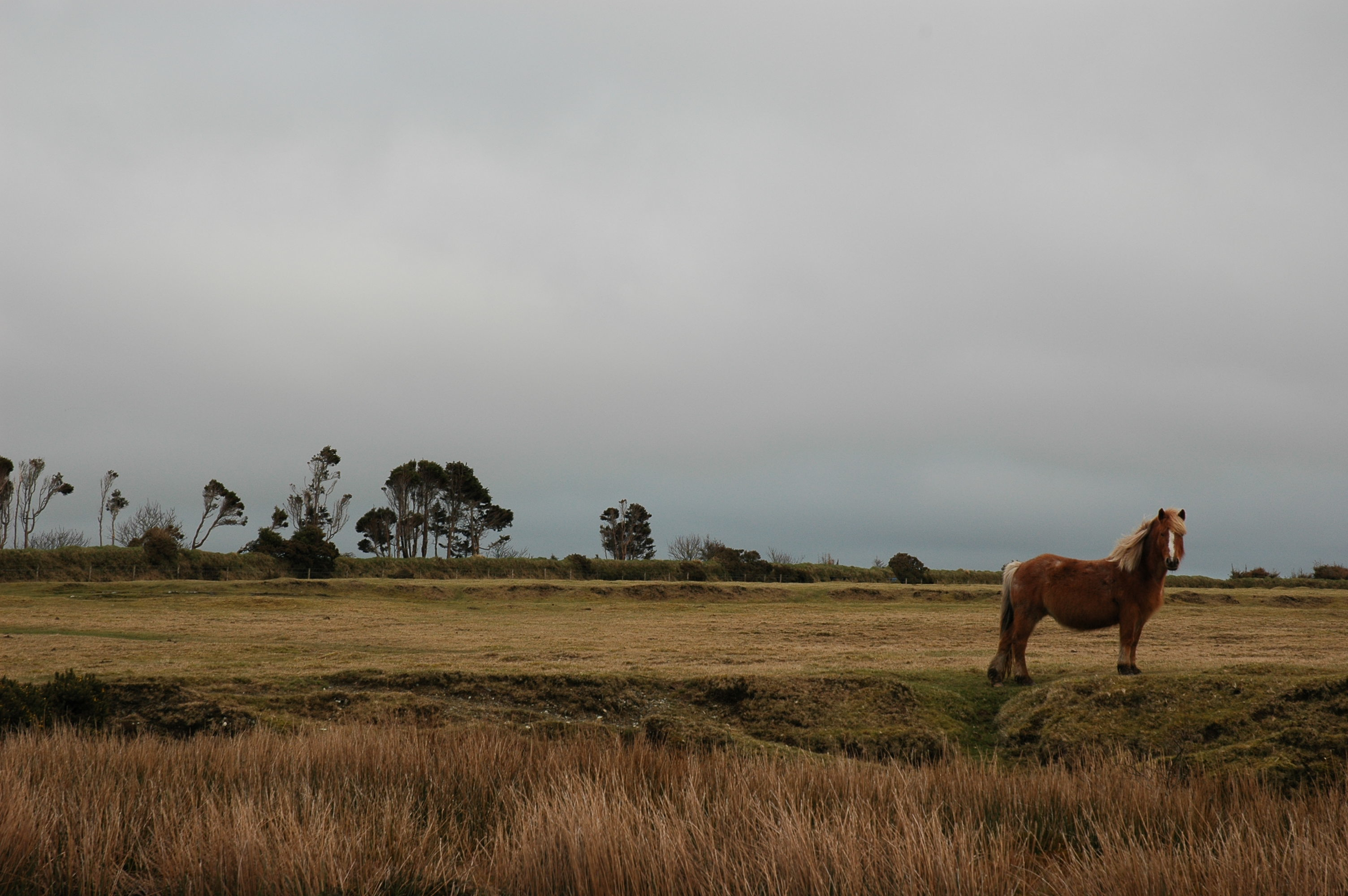 Wild pony on Bodmin Moor