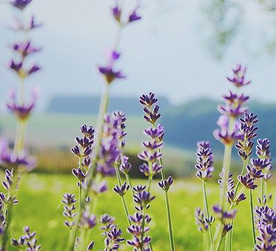 Sweet lavender in a green field_edited.jpg