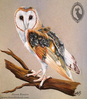 Barn Owl - Donated to the Ojai Raptor Center
