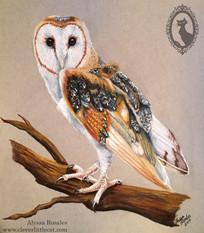Barn Owl - Donated to the Ojai Raptor Center
