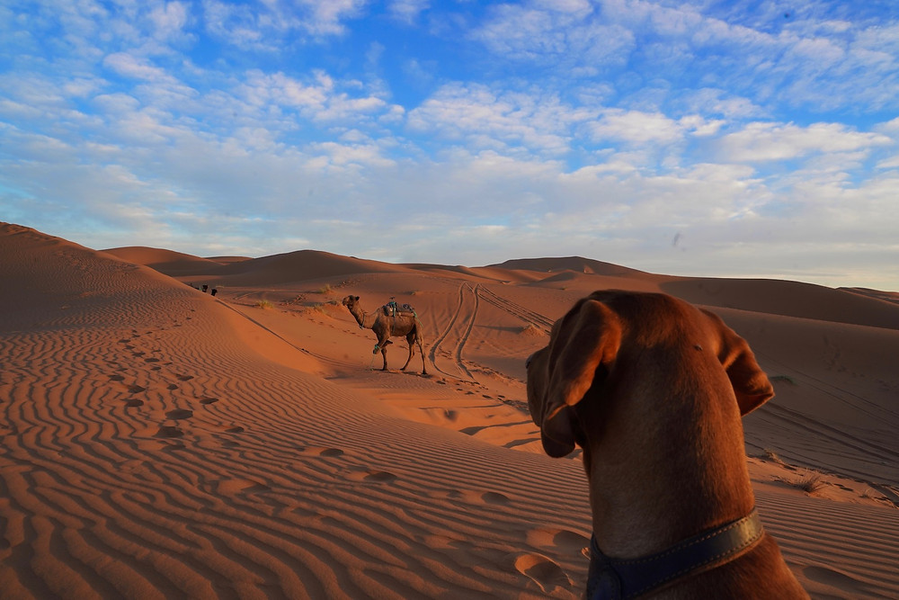 Vizsla Marokko Wüste Desert Morocco Traveldog