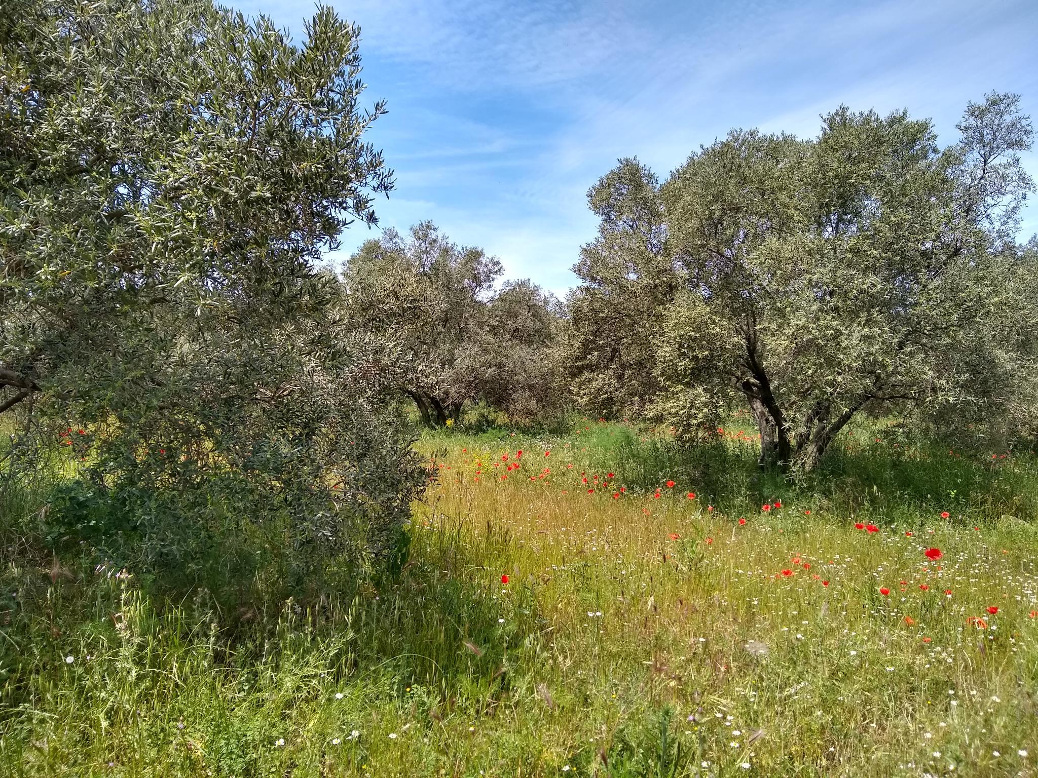 Dans les oliviers