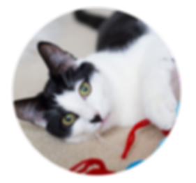 animal-adoption-league-cat-application.p