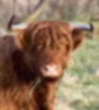Highland_Cattle_YBJ_6_.jpg