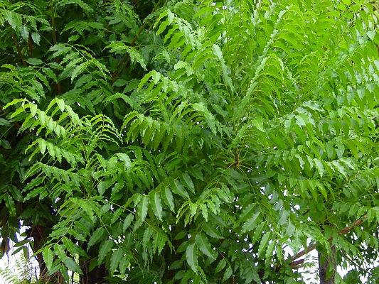 neem plant.jpg