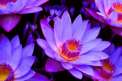 Organic Blue Lotus