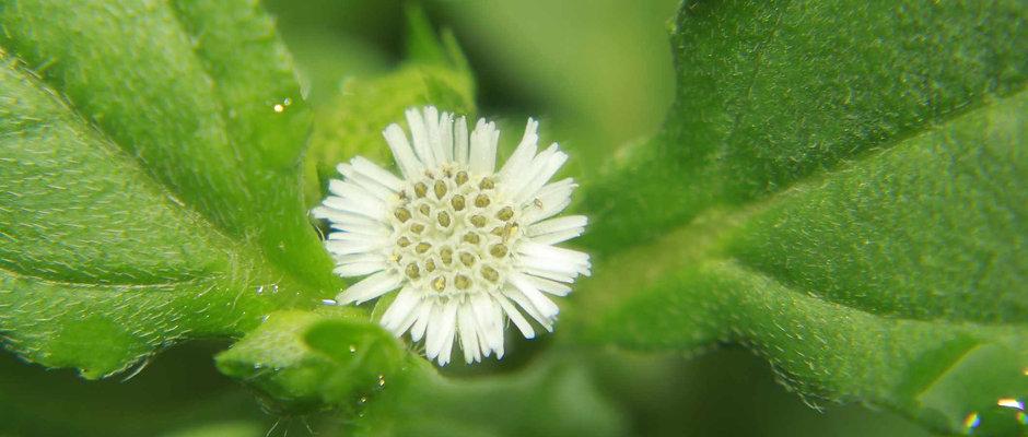 Organic Bhringraj Capsules