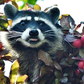 Rocky Raccoon in the fruit tree_edited_edited.jpg