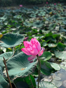 Lotus Pond in Kaohsiung, Taiwan | On Airplane Mode