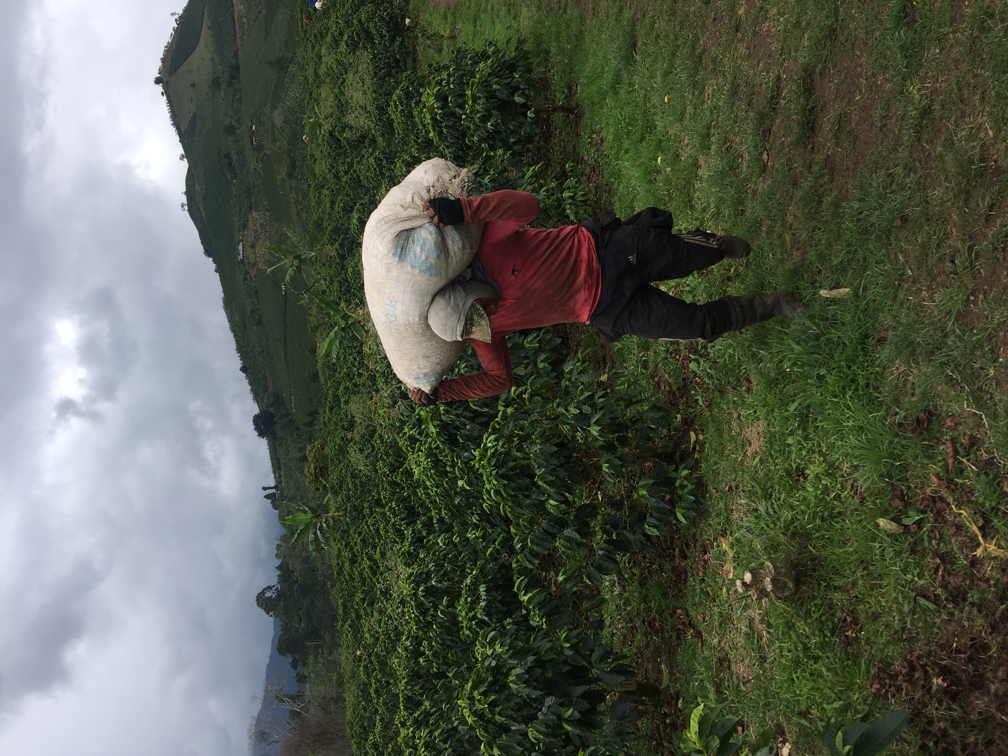 coffee picker to weight