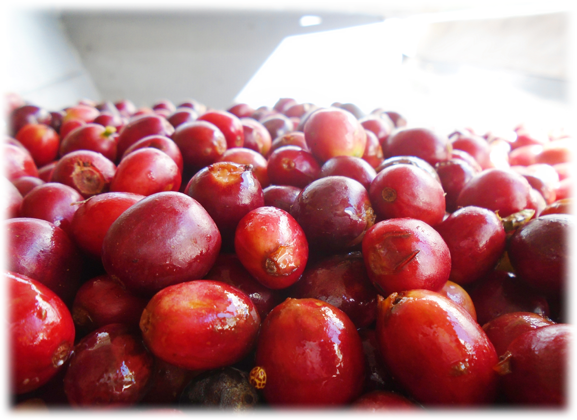 cherries ready for pulping process
