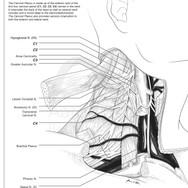 Anatomy of the Cervical Plexus