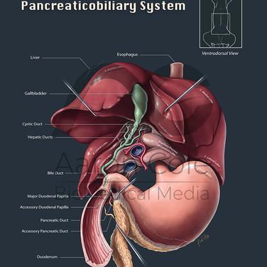 Canine Pancreaticobiliary Anatomy