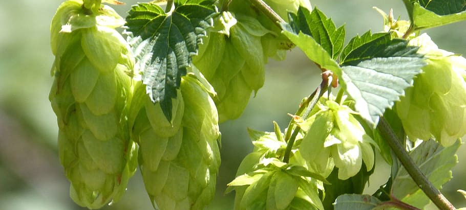 So What's the Deal with Hops?
