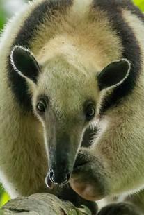 Northern Tamandue Anteater