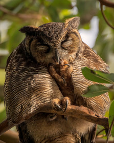 Male Great Horned Owl 2