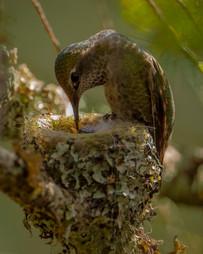 Annas Hummingbirds 1