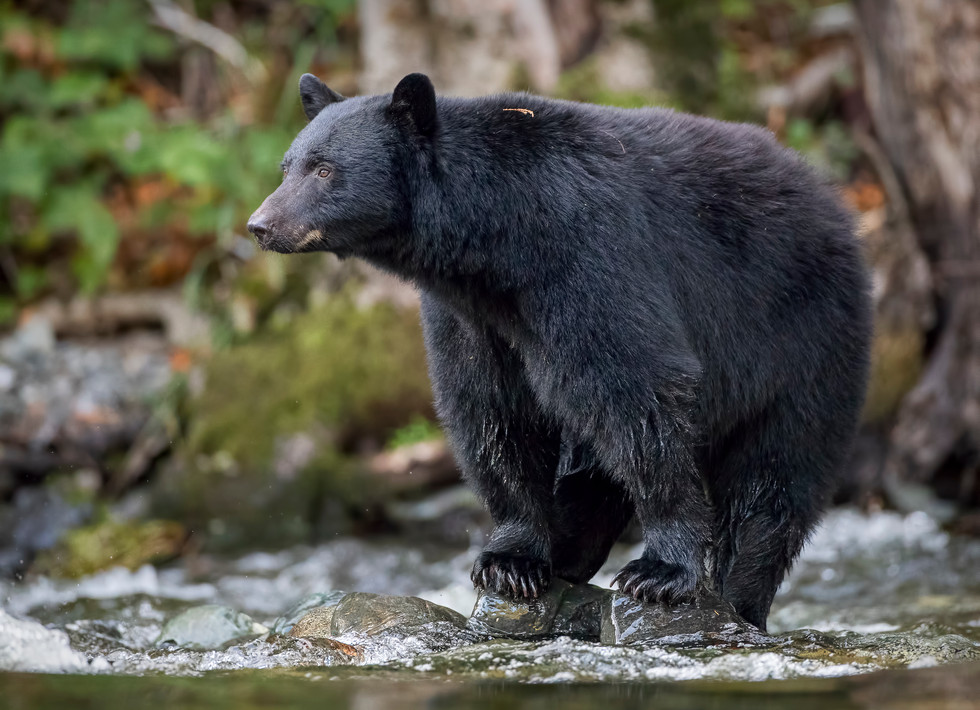 October 10, 2019 - Black Bear Sow 1.jpg