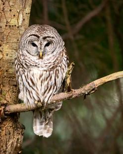 February 28, 2021 - Barred Owl 2.jpg