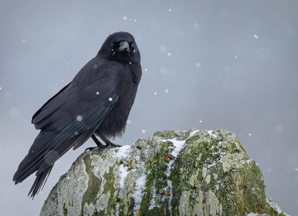 January 14, 2020 - Crow 2.jpg