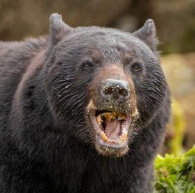 July 02, 2020 - Black Bear 5.jpg