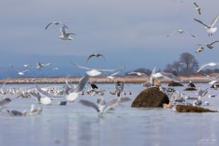 Herring-roe Fishery 17
