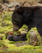 June 25, 2020 - Black Bear 3.jpg