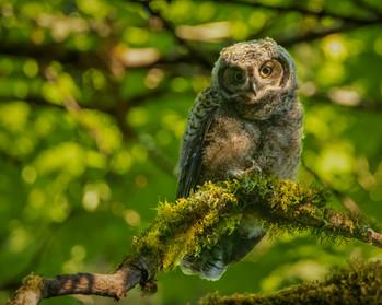 May 20, 2021 - Great Horned Owlet 1.jpg