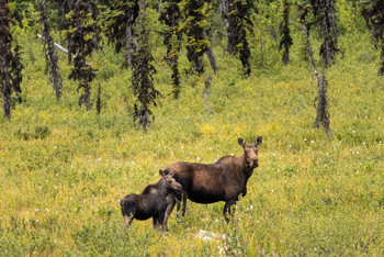 Cow and Calf Moose 1