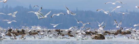 Herring-roe Fishery 18