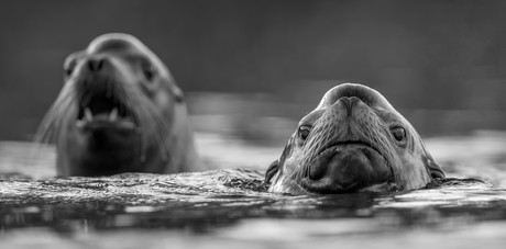 October 31, 2020 - California Sea Lions