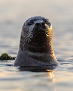 Pacific Harbour Seal 1