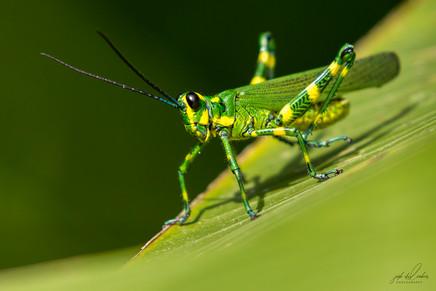 Chromacris Grasshopper
