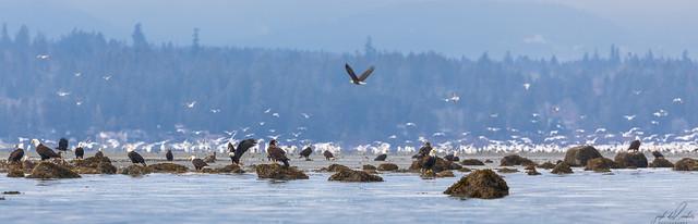 Herring-roe Fishery 16