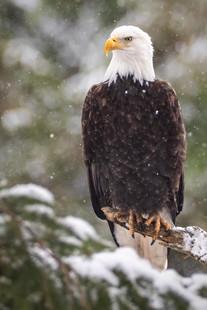 February 14, 2021 - Bald Eagle 2.jpg